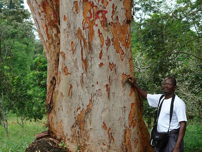 Parquet contrecollé Afrormosia - 16 x 180 mm - Huilé
