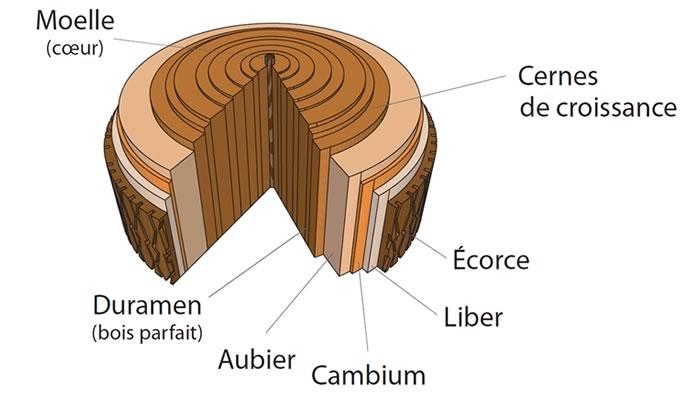structure du tronc d'un arbre